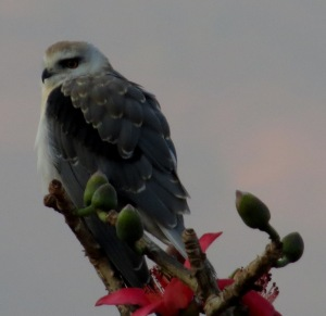 black shouldeed kite