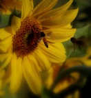 honey bees & sunflower