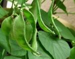 balcony garden beans