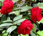 balcony garden roses