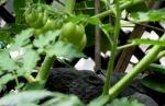 balcony garden tomatoes