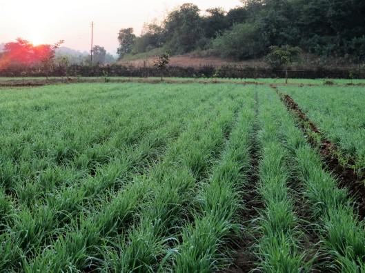 wheat fields @  7am.
