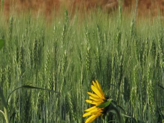 wheat getting ready