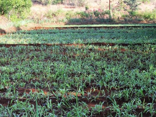 maize & lusan grass