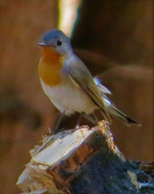 orange breasted flycatcher