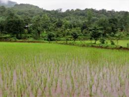 rice field1