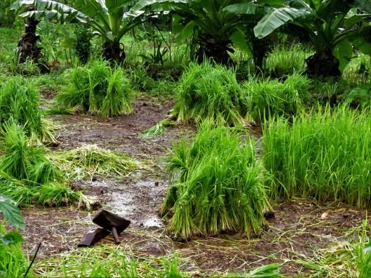 rice saplings